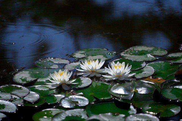 Lotusul în mâl înflorește